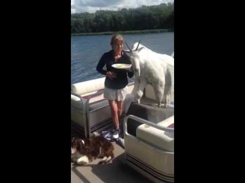 goat on a boat youtube