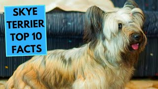 Skye Terrier  TOP 10 Interesting Facts