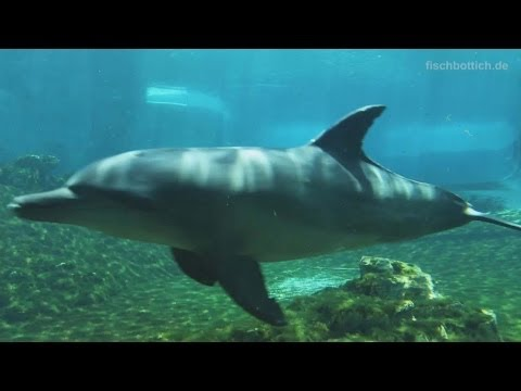 [HD] Indo-Pacific bottlenose dolphins @ S.E.A. Aquarium [15/17]