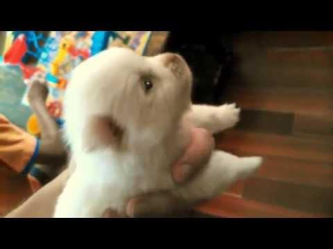 Cute White Puppy - Pomeranian & Chihuahua mix