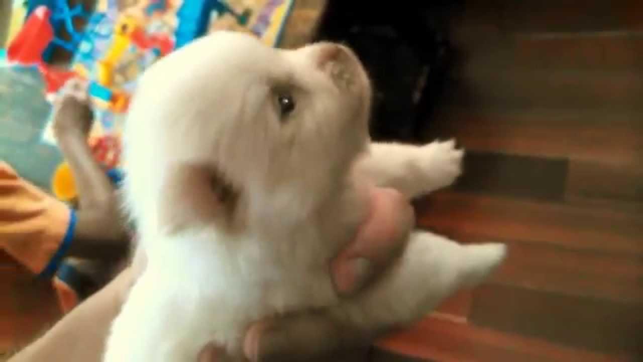 Cute White Puppy Pomeranian Chihuahua Mix Youtube
