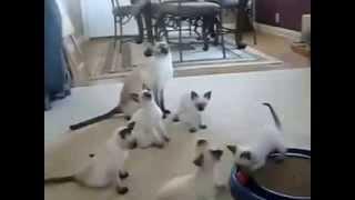 Сиамские котята играют со своими родителями!