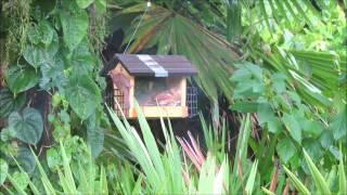 Nikon Coolpix P600,  Northern Cardinals Feeding, Juvenile Birds