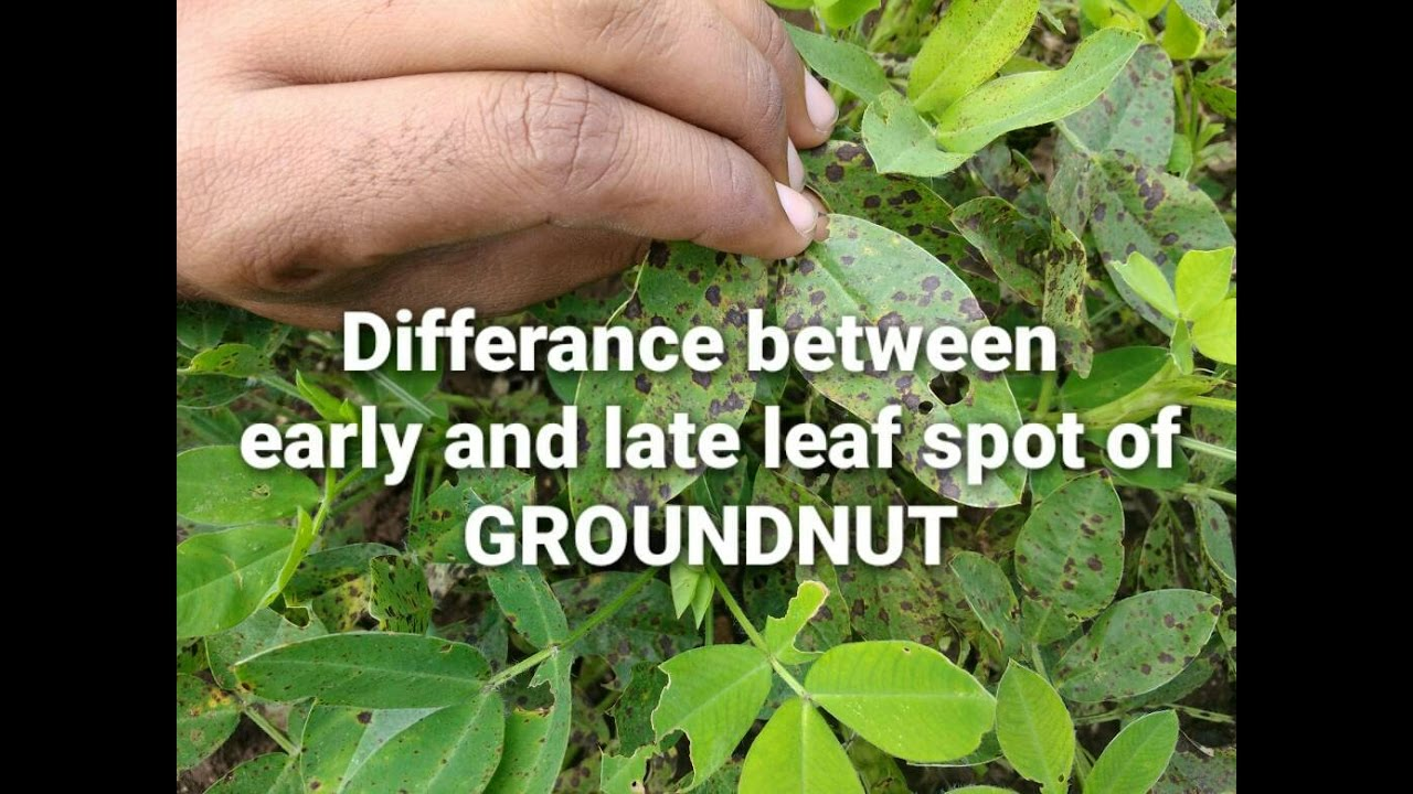How to differentiate early late leaf spot of groundnut youtube how to differentiate early late leaf spot of groundnut altavistaventures Gallery