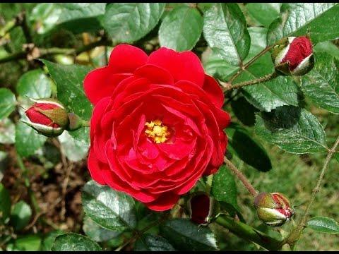 rose gulab phool