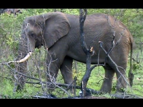 Kruger Sightings - Elephant Pulling A Tree Out - 6 December 2011
