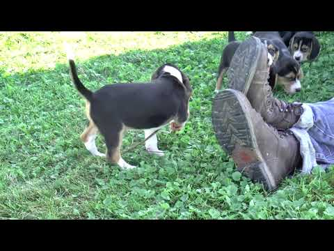 UKC Beagle Puppies for Sale