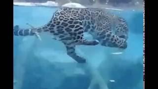 РЖАЧ смешная кошка леопард КотзилоЗавр ловит рыбу, смешные кошки FUNNY CAT - EAT FISH