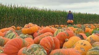 Хэллоуин не за горами: фермеры снимают урожай тыкв (новости)
