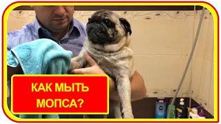 Уход за мопсом. How to wash a pug.