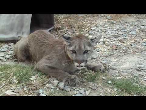 Pet Cougar in Heat