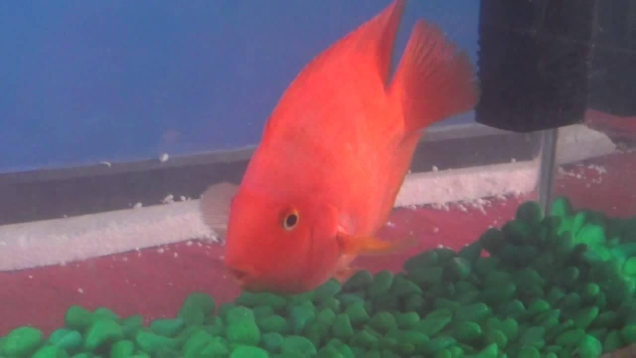 Red Parrot Fish in Aquarium Tank - YouTube