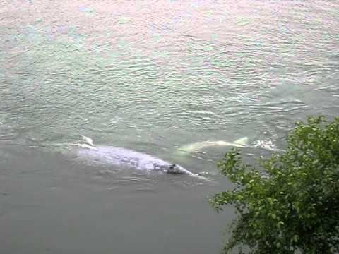 Gray whale and calf in Klamath River
