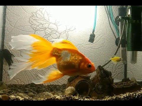 Охота Золотой рыбки на гуппи