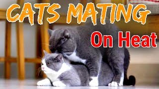 Cat Mating  How To Know Cat On Heat In Hindiurdu 2019