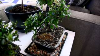 Satsuki Azalea (Apple Blossom) and Chinese Elm Bonsai Trees