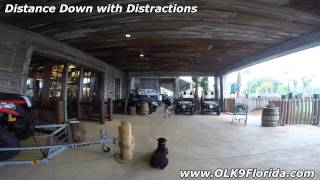 "8mo Rottweiler ""diva"" 2 Week Board And Train Video! Orlando Dog Trainers."