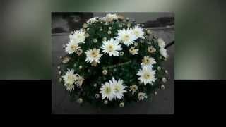 Хризантема цветок осени !!!(Я цветовод - коллекционер ! Хочу Вам предоставить свою первую часть коллекции. Сортов хризантем, шарообраз..., 2015-01-02T17:03:24.000Z)