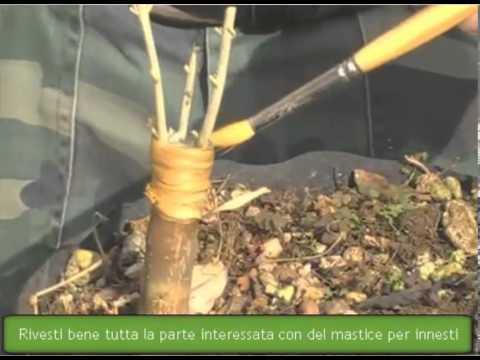 Olivo bonsai innesto a corona parte 3 youtube for Tipi di bonsai