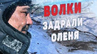 Охота на волка в Якутии видео будни волчатников