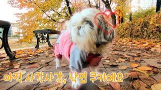 가을 낙엽산책 시츄 쿠키|주말 일상,  반려견 산책 브…