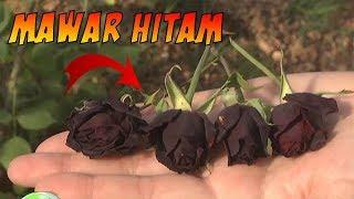 Bukan Hanya Mitos...!!!  Mawar Hitam ini Benar Adanya Dan Cuma Ada Di Negara Ini #Paten