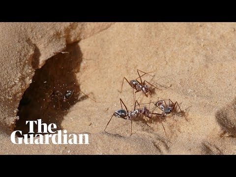 Fastest ants in world found in northern Sahara, researchers say