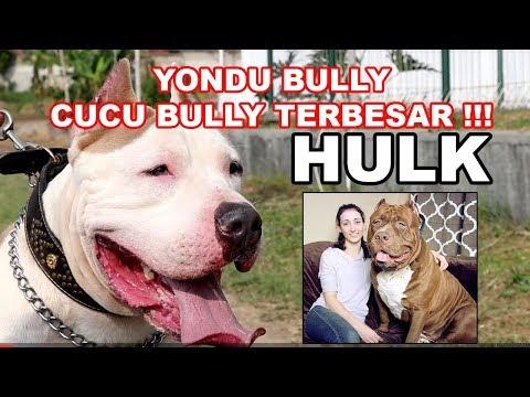 yondu-cucu-bully-terbesar-dunia-harga-200-juta---dogzilla-kennel-series