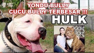 "Yondu merupakan cucu dari anjing legendaris the hulk.dogzilla kennelhome of ""monster"" dog breeds. 1st kangal, alabai, neo mastiff, boerboel and bandogge bree..."