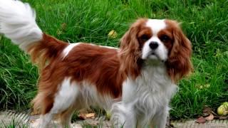 Порода собак.Кавалер кинг чарльз спаниель.Приветливая собака.Любит хозяина и  других жителей дома
