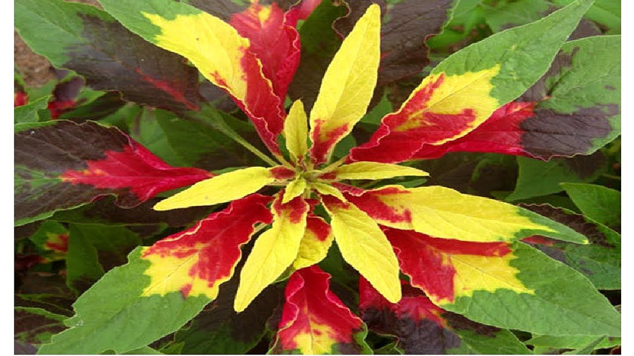How To Grow Amaranthus Tricolor Summer Poinsettia From Seeds