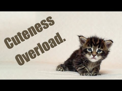 Cuteness overload I Life of Maine Coon kittens.
