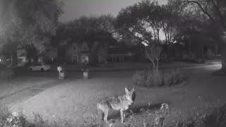 Pack of roaming coyotes kill family pet