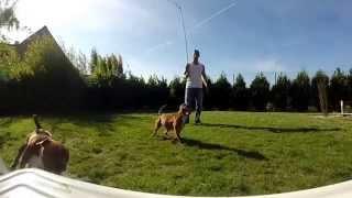 Staffordshire Bull Terrier Au Flirt Pôle