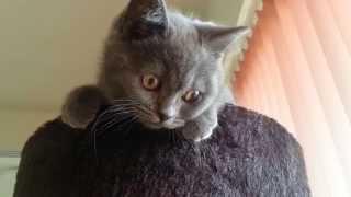 Mischievous British Shorthair Kitten ANTON (3 months old). Британский кот. ブリティッシュショートヘアの猫