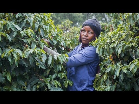 Estate Grown Coffee in the Highlands of Tanzania [TRAILER]
