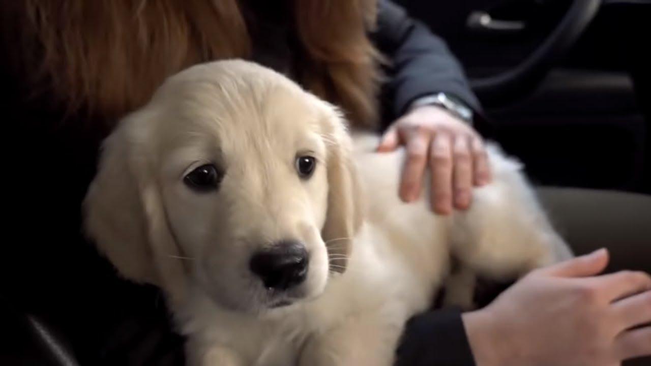Life of A Growing Golden Retriever Puppy