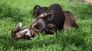 Чихуахуа Мама играет со своими детьми. В любимчиках на этот раз мальик (№!) / Видео