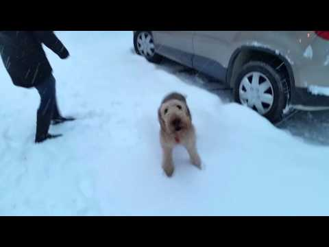 Airedale terrier dog excited to see owners