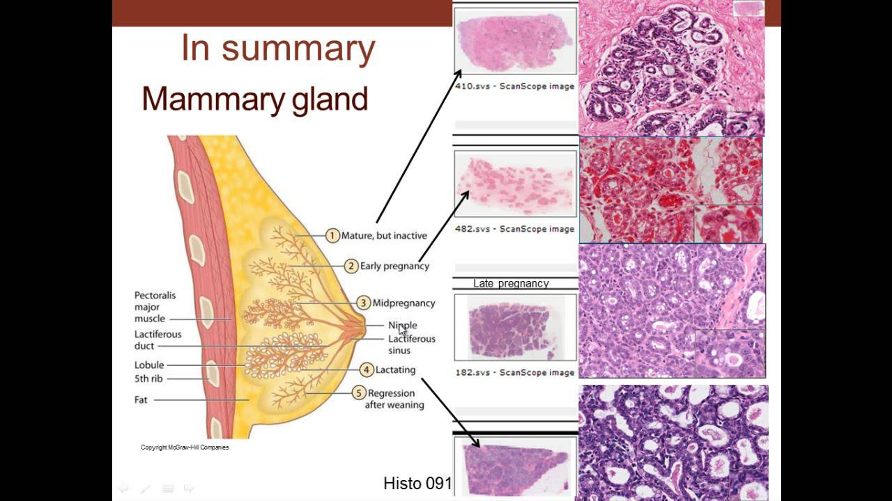 18  Medical School Histology  Female Reproductive System - Part 3 - Cervix,  Mammary Gland, Placenta