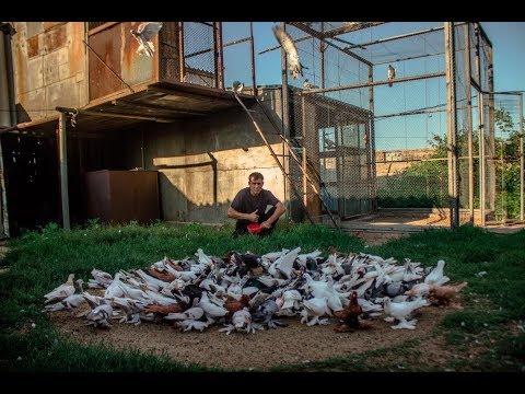 Уникальная Игра бойных голубей в Казахстане ( Сергей Афанасьев , г.Павлодар , Казахстан )
