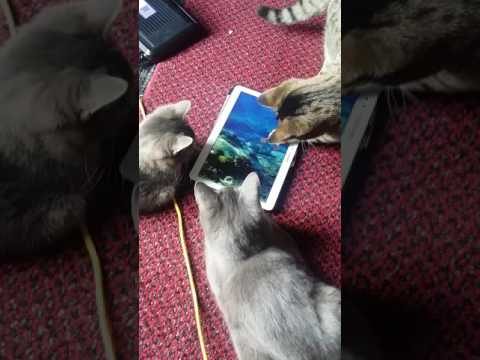 Most amazing cats playing with Tablet..:-)