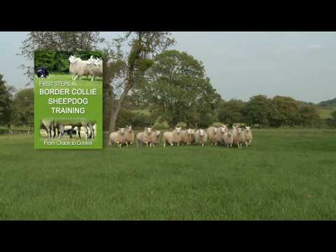 First Steps in BORDER COLLIE SHEEPDOG TRAINING - teaching herding dogs