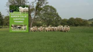 First Steps in BORDER COLLIE SHEEPDOG TRAINING - Teach a herding stock dog to round up sheep