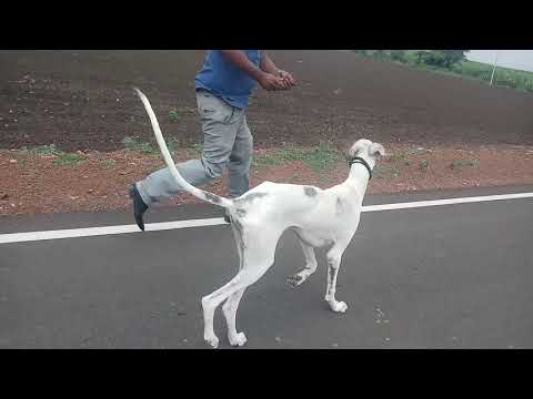 Historic Breed Indian Mudhol hound 9900919662 top Quality male  Registered pupp