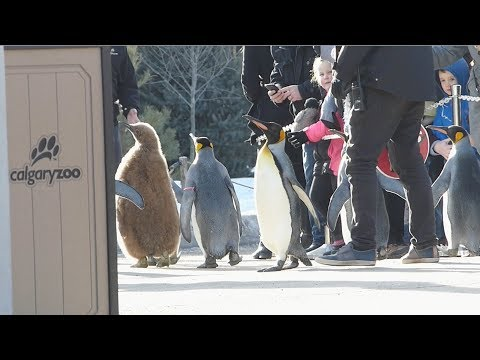2018 Penguin Walk - Calgary Zoo