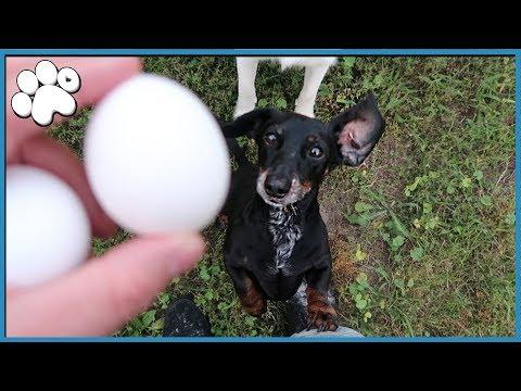 DOG vs. EGG CHALLENGE! (Will They Crush It)