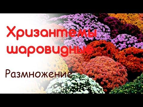 Разводим, размножаем шаровидные хризантемы