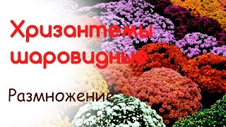 Разводим, размножаем шаровидные хризантемы(, 2016-06-01T15:30:58.000Z)