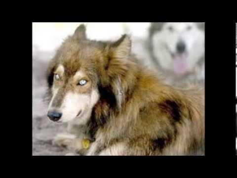 Dog Mixed Breeds (read desc)
